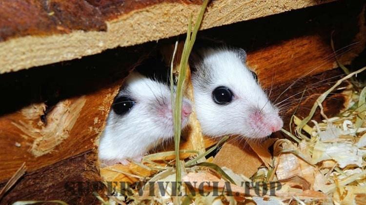 Cómo deshacerse de los ratones